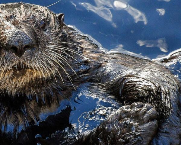A sea otter in the water.