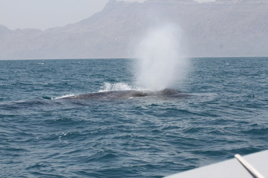 Part of a blue whale emerging from the ocean and expelling water.