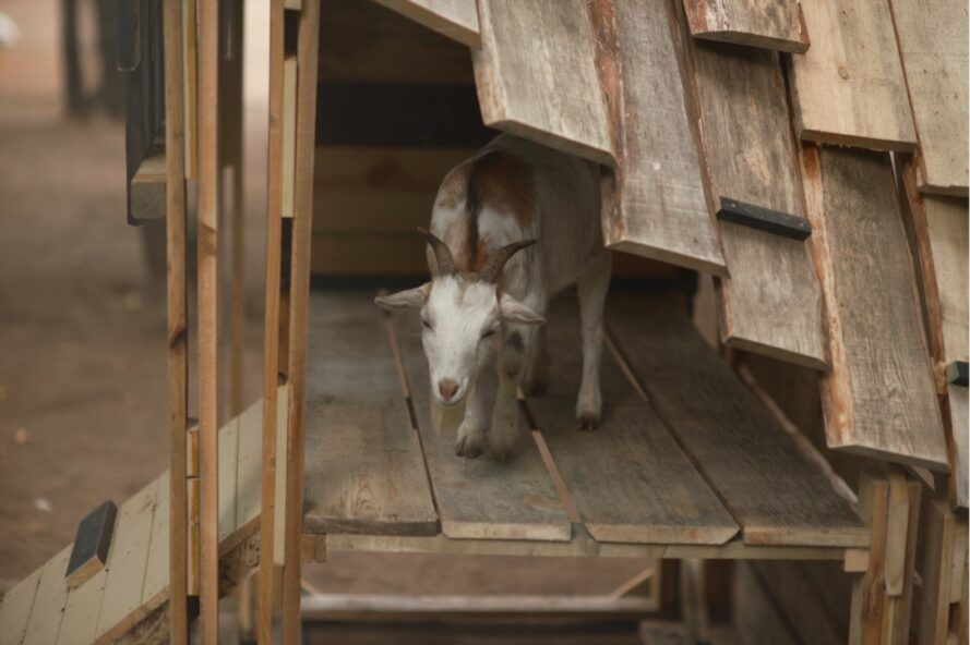 goat peeking out from under a wood roof