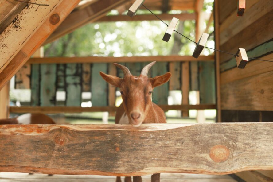 goat standing in wood pavilion