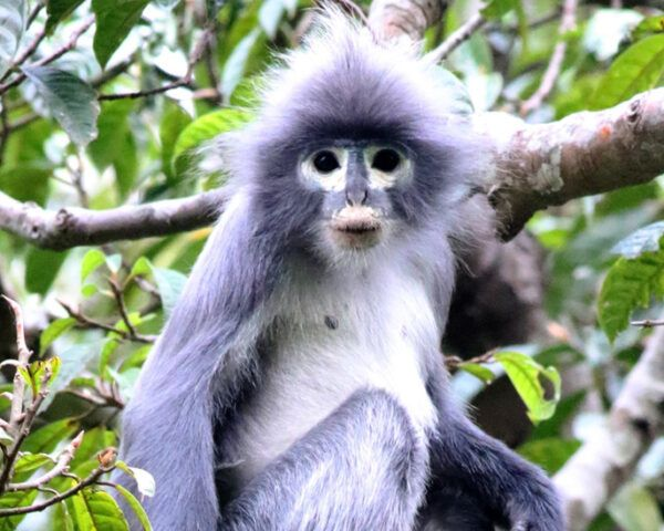 Popa langur monkey in a tree