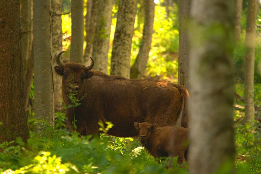Bison and calf in forest