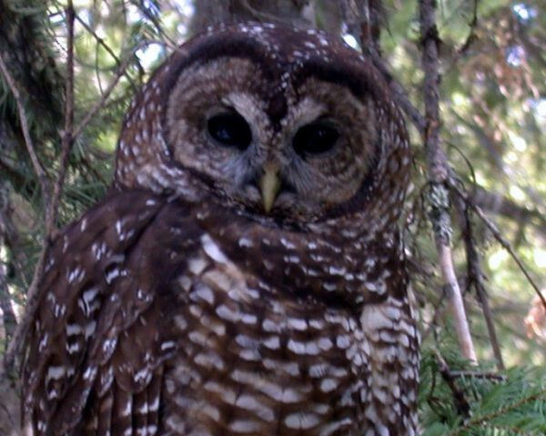 northern spotted owl perched on a branch