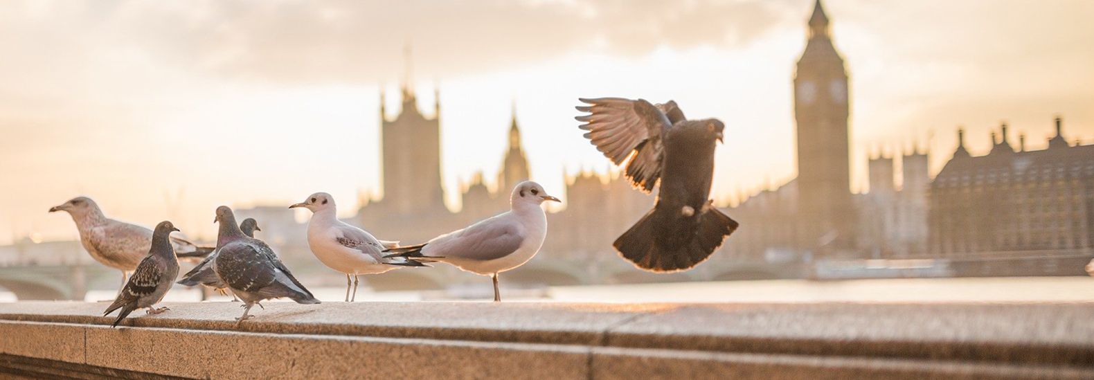 Could contraception for pigeons be a humane option for population control?