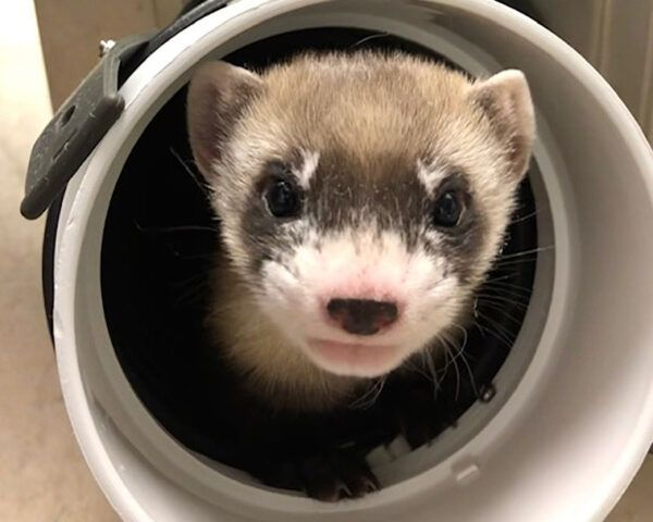 black-footed ferret poking head out of hole