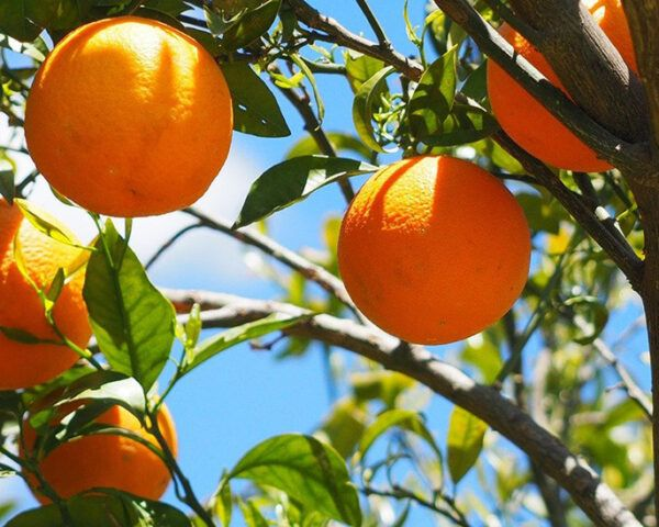 oranges growing on a tree