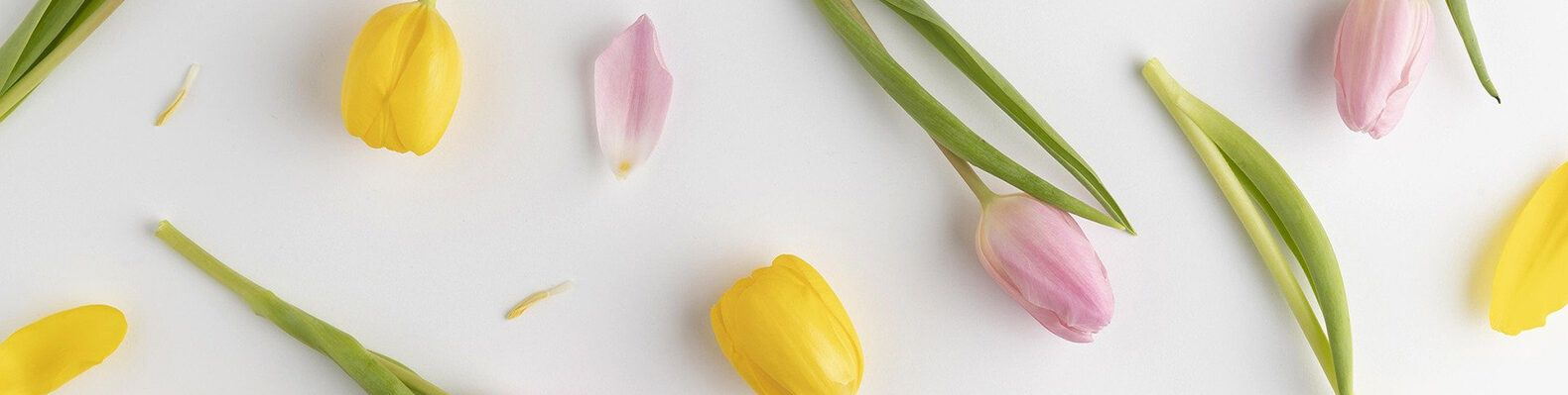 pink and yellow tulips on white background