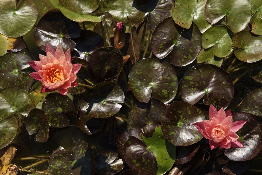 A close-up of flowering lily pads.