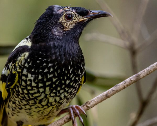 Regent Honeyeater bird in tree