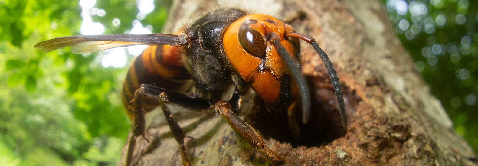 Scientists raise alarm over the resurgence of murder hornets