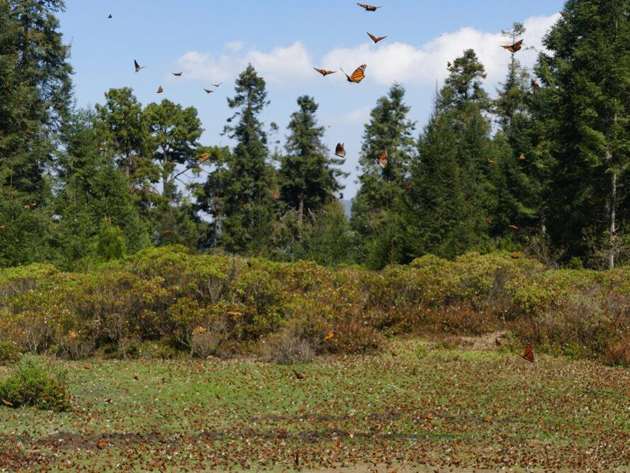 forest covered in monarch butterflies