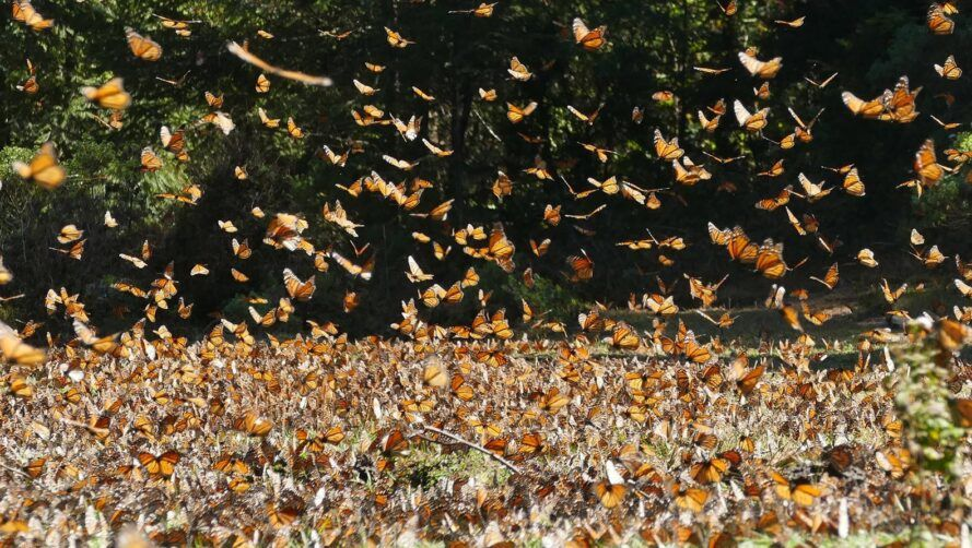dense swarms of monarch butterflies in a forest