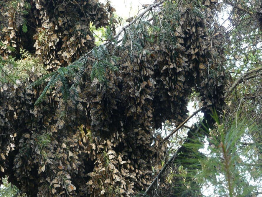 clumps of monarch butterflies in a tree