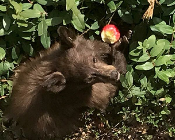 bear eating apple in someone's backyard