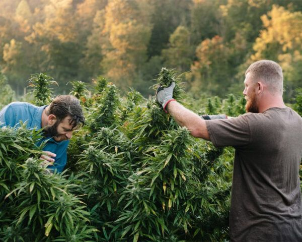 Two people farming marijuana outdoors.