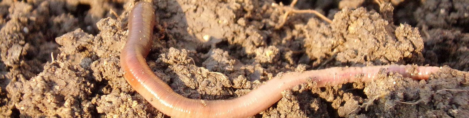 earthworm in dry soil