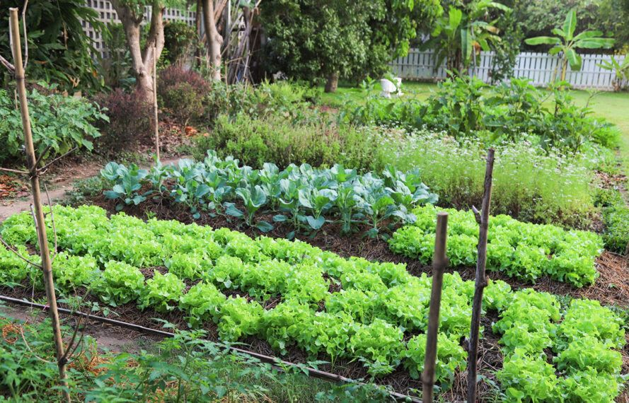 Green leafy vegetables growing in the garden