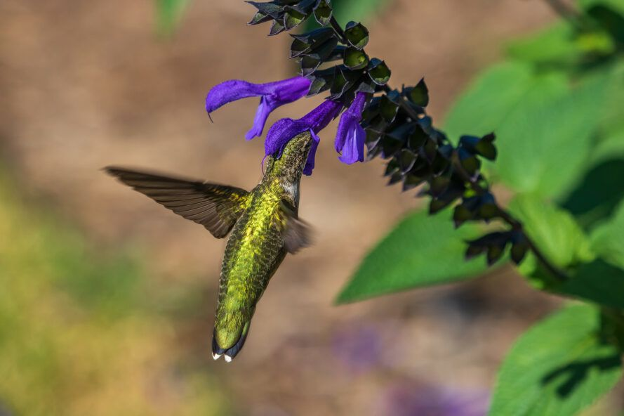 Green hummingbird collects nectar from blue salvia plants