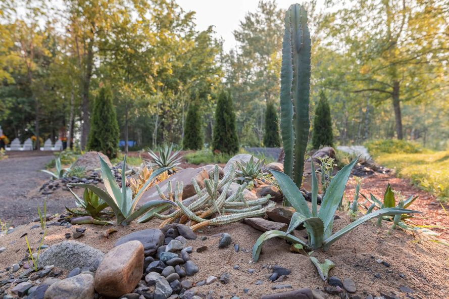 A cactus garden surrounded by dirt and rocks.