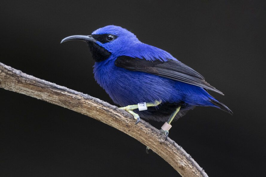 A blue and black Purple Honeycreeper bird sitting on a branch.