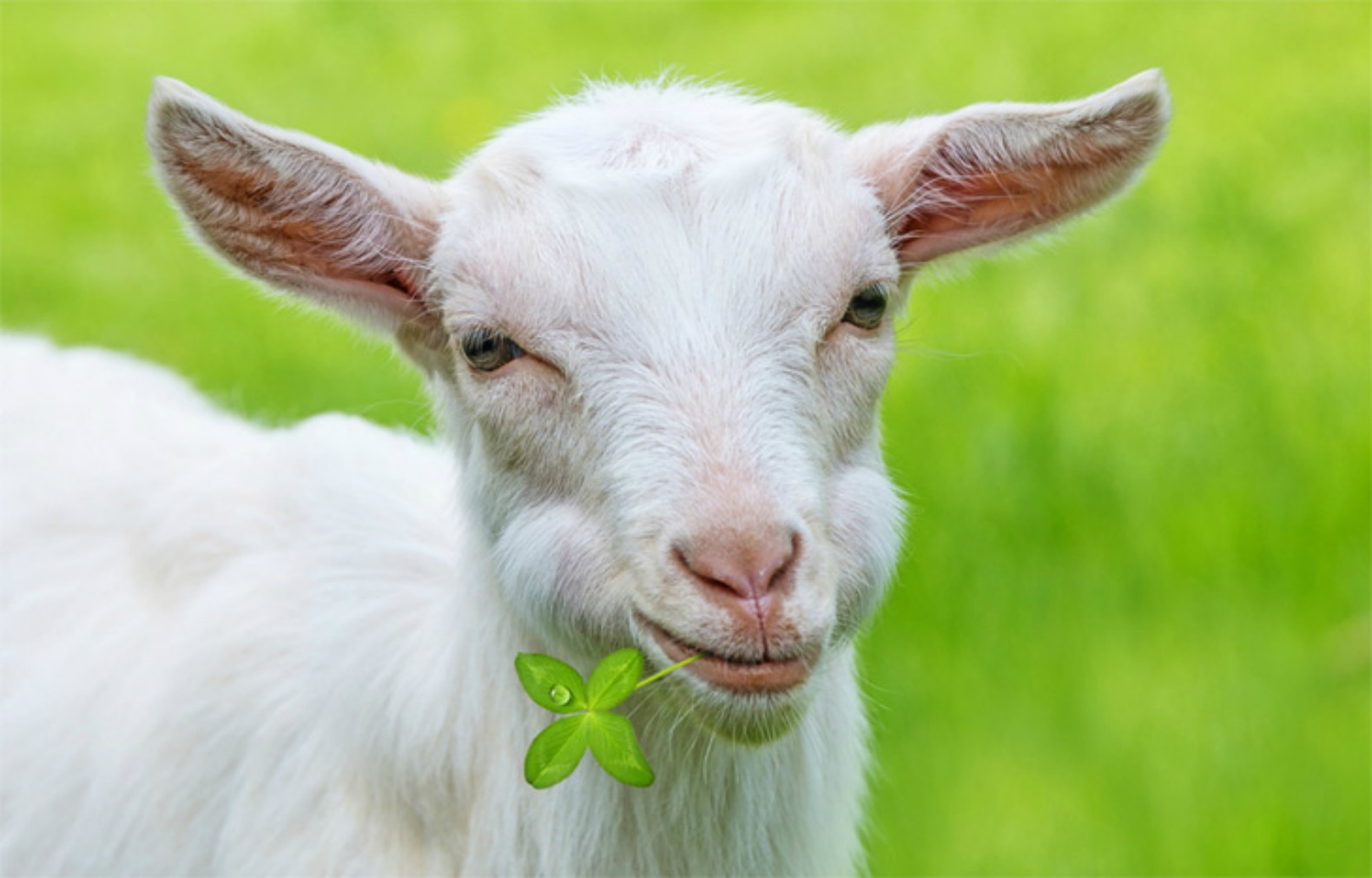 Herd of hungry goats will eat their way through Prospect Park as part of cleanup