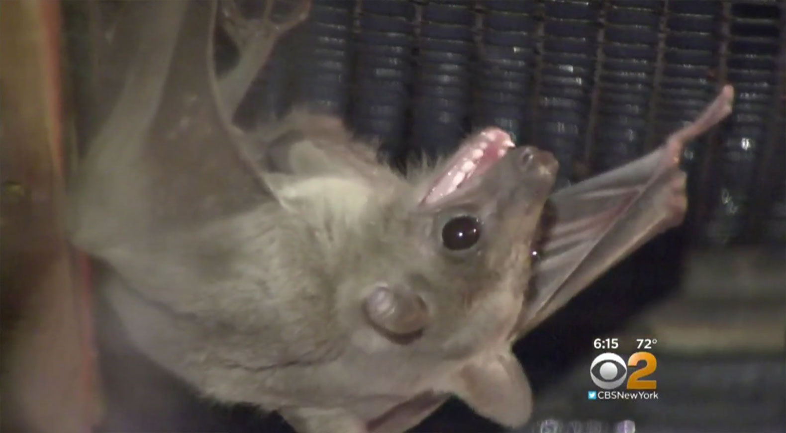 Long Island welcomes bats that can eat 1,000 mosquitoes an hour to fight Zika