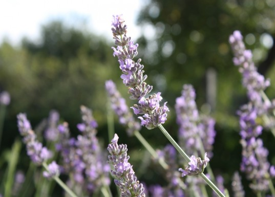 natural sleep remedies, lavender