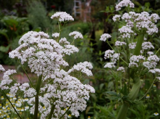 natural sleep remedies, valerian