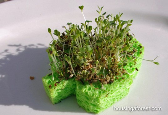 shamrock sprouts, sprout sponge, housing a forest