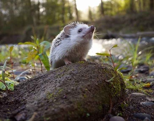 biddy the hedgehog, african pygmy hedgehog, outdoor photography, adventure, travel