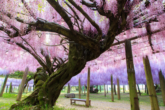 natural tunnels, natural tree tunnels, tree tunnels, natural flower tunnels, flower tunnels, tunnels around the world, tree tunnels around the world, tunnel of love,