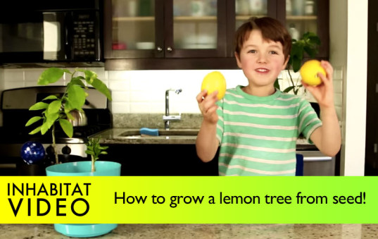 How To Grow A Lemon Tree From Seed, Growing a lemon from seed, lemon tree, lemon seed, growing a lemon tree from seed, gardening tips, gardening with kids, kids gardening project, grow a lemon plant