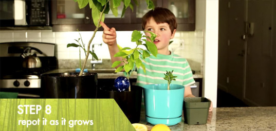 How To Grow A Lemon Tree From Seed, Growing a lemon from seed, lemon tree, lemon seed, growing a lemon tree from seed, gardening tips, Repotting Your Lemon Plant, Repotting Your Lemon Tree, gardening with kids, kids gardening project, grow a lemon plant