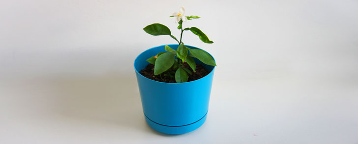 How to grow a lemon tree from a lemon seed inhabitots for Growing a lemon tree in a pot from seed