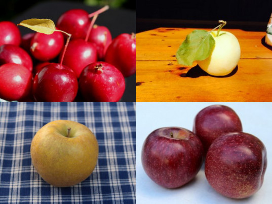 pick your own apples, PYO apples, organic apples, heirloom apples, pick your own fruit, pick your own fruit farms, outdoor activities, apple season, fruit picking, apple picking, u-pick apples, food preserving