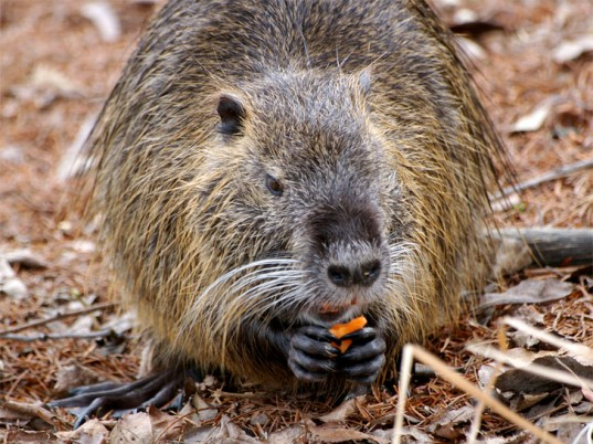 nutria, animal cruelty, fur, National Resources Defense Council, eco-fashion, sustainable fashion, green fashion, ethical fashion, sustainable style
