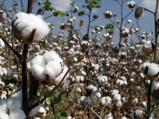 Have You Cottoned On Yet, Global Organic Textile Standard, GOTS, Soil Association, organic cotton, eco-friendly textiles, sustainable textiles, eco-textiles, Monsanto, eco-fashion, sustainable fashion, green fashion, ethical fashion, sustainable style, climate change, global warming