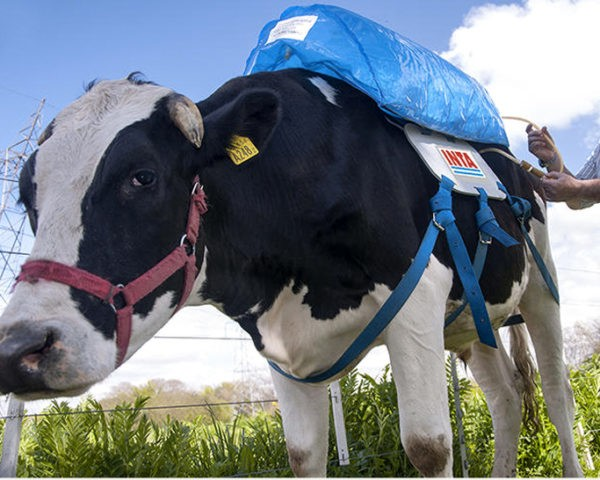 """Argentina's """"Methane Backpacks"""" Turn Cow Farts into Green Energy..."""