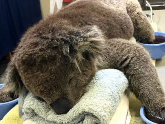 koalas, Australia, DIY tutorials, DIY fashion, animal welfare, eco-fashion, sustainable fashion, green fashion, ethical fashion, sustainable style, DIY projects, DIY mittens, eco-friendly mittens, sustainable mittens, IFAW, International Fund for Animal Welfare